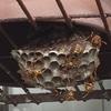 浜松市浜北区で棚にできたハチの巣を駆除してきました