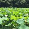 福岡城址のお堀 ハスの葉が大きく揺れて♪