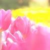 【添乗員同行ツアートルコ旅行・25】エルミギャン公園のチューリップ