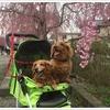 福島県喜多方市から山形県米沢市小野川温泉の犬連れ旅