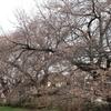 野川公園の桜は5分咲きくらいかな2018.3.24