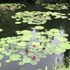 モネの庭・花言葉のない青い睡蓮は高知でしか見れない!