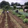 食と農の命の授業☆今日は大量の里芋が収穫できたようです(^ー^)