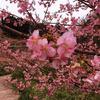 頼朝桜を見てきた