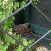 鳥の巣報告:ちゃんと卵を温めています!