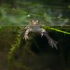 トノサマガエル Pelophylax nigromaculatus