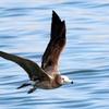 銚子漁港のクロワカモメ似のウミネコ幼鳥