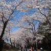 約1.3kmに渡る1000本の桜並木!前橋市「赤城南面千本桜」