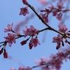 飛騨の春景色【肴のしだれ桜】