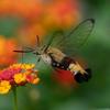 【オオスカシバ】ハチではございません