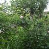 今朝の庭・・・'コンスタンス スプライ'の一番花