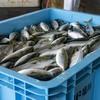 2020年5月23日 小浜漁港 お魚情報