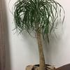 ポニーテール 私のお気に入りの観葉植物を紹介します😊
