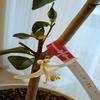 自家製柑橘類を収穫したい!~北東北でレモンとデコポンの室内栽培に挑戦中~