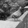 馴れ馴れしい鳩