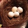メジロの巣と文鳥の卵
