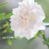 8月終わりのサマーメモリーズ【つるバラ】
