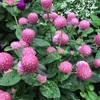 センニチコウ(千日紅)の花