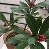 赤色の植物