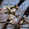 2019年3月川越氷川神社裏の桜の開花状況(3月27日時点)