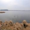 手賀沼とその遊歩道で囀るホオジロ