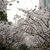 上海-東昌路から陸家嘴までの桜スポットを散策