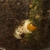 【ノコギリクワガタの幼虫】食痕か蛹室か?最後のマット交換①