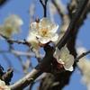 梅祭り前の雪月花~大宮第二公園~