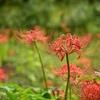 ✿彼岸花❀ 小石川植物園での撮影