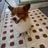パピヨン犬、名前は「ゴン太」!?