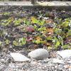 庭のルッコラ