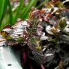 グランドカバーとしてお勧めのアジュガのつぼみ。センシティブな季節に強健植物