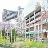 JR長岡京駅の桜。