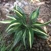 夏も葉数を増やしたホスタ、スネーク アイズとグレート エクスペクテーション