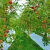 秋はりんごが美味しい