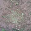 クラピアを植えて8ヶ月…雑草取りをしました