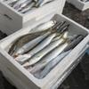 2017年8月1日 小浜漁港 お魚情報