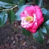 【写真】ツバキを撮りに椿園に行ってきました☆&祝100記事達成!!