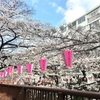 ブログぼちぼち再開♪ まずはiPhoneで撮影した目黒川と千鳥ヶ淵の桜で♪