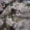 今日も桜雨・・