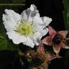 ラズベリーの花,raspberry