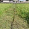 溝きりではなく、畦の草刈をしました(田植え後14週目、出穂4週目)