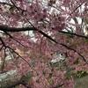 河津桜を再び撮影 美しい景観が素晴らしい