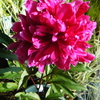 5月24日誕生日の花と花言葉