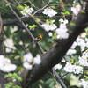 ルリビタキ・オオルリ・クロツグミ・キビタキ・ヤブサメ(大阪城野鳥探鳥 2017/04/08 6:45-13:25)