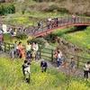 済州島(チェジュ島)春の祭り情報 #西帰浦菜の花国際ウォーキング大会