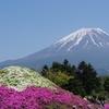 生命の息吹を感じる映える芝桜ピンク ~富士芝桜祭り~