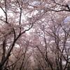 厚田某所の桜