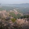 吉野の桜が満開