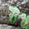 ボンドのような液を出す 有毒植物コニシキソウ